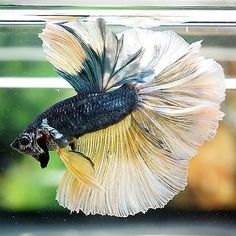 Betta-Male-Steel-Blue-Yellow-Beautiful-Rosetail OHM