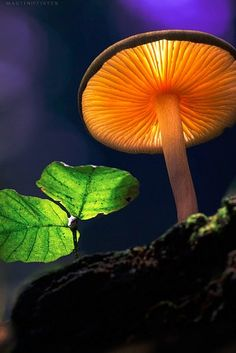 Enchanting Macro of a mushroom against a starry dark blue sky.  http://growokc.com