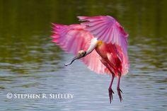 Roseate spoonbill Pink birds