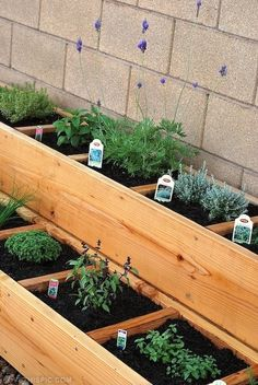 Herbs in tiered raised bed garden