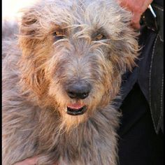 Irish Wolfhound-just fabulous