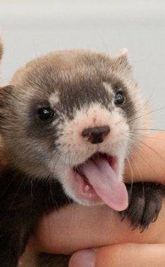 Baby ferret adorable