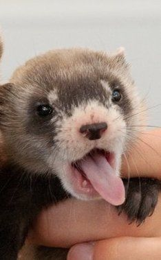 Baby ferret adorable and I think I might have got too much tongue for my mouth! DOOK DOOK!