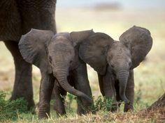 Elefantes in pairs