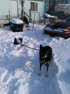 My son's big dog GINGER in the snow packed driveway of his home-  Wichita, Kansas-  2013 February.-  took my Son over an hour to get unstuck from driveway snow & ice just to go to work!  Winter perseverance & determination to get to his job!