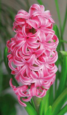 Dutch Hyacinth Candy Cane