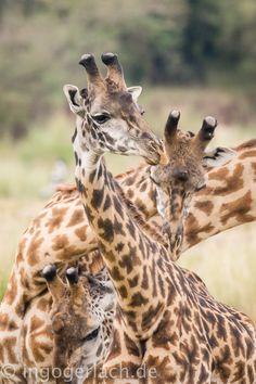 Who is where? | Masai Mara. | Kenya. |  More pics www.shop.ingogerlach.de
