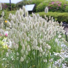 Lagurus Ovatus Seeds - Bunny Tails Ornamental Grass Seed Annual, plant from seeds, drought resistant, likes sand Ornamental Grass Landscape, Ornamental Grasses, Landscaping With Grasses, Grasses For Pots, Rock Landscaping, Grass Flower, Flower Seeds, Chlorophytum, Grass Decor