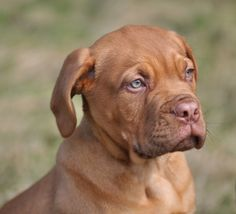 The 10 Best Dog Breeds for Children...If an owner can get past the drooling nature of this lovable breed, the Douge de Bordeaux sports a calm temperament, is loyal to its pack and affectionate to a fault. Gentle with the children, this French Mastiff will also be protective of the family it loves.