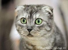 Scottish Fold Green Eyed Gray Cat