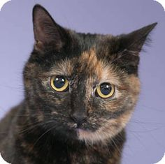 Chicago, IL - Domestic Shorthair. Meet Raisin a Cat for Adoption.thank youi