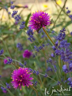 Took a couple of minutes to walk around the garden late this afternoon. Love the way the Gomphrena 'Fireworks' dances with the 'Hidcote' lavender. Garden Trees, Garden Plants, Horticulture, Marian Garden, Pink Flowers, Beautiful Flowers, August Flowers, Globe Amaranth, Full Sun Plants