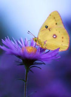 ~~Dinner Time | butterfly on purple aster flower | by j man~~