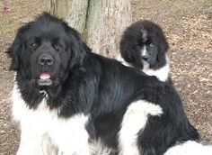 88 Best Newf Love images in 2017 | Big Dogs, Newfoundland, Cubs