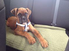 Neska. My boxer puppy. (KiaraKlein)