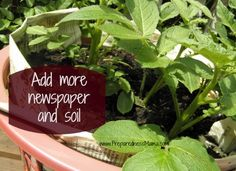 Add more newspaper and soil as you grow potatoes in a laundry basket