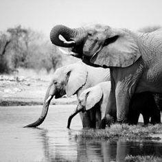 Elephant Featured Images - Namibia Elephants  by Nina Papiorek