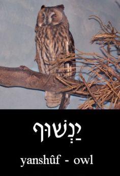 ❤️ Owl in Hebrew = Yanshûf