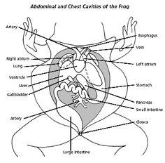 Frog Anatomy Labeling Worksheet | HS: Science - Biology ...