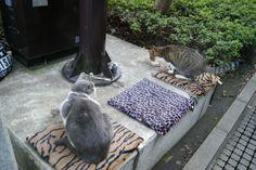 Enoshima Cats