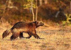 Photo by Agustín Povedano Black Bear, Brown Bear, Wolverine Animal, Animals And Pets, Cute Animals, Amur Leopard, Wolf, Siberian Tiger, Wolverines