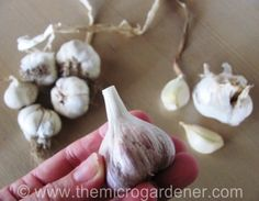 5 Step Guide to Growing Garlic - Live #Dan330