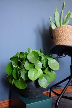 pilea pannenkoekenplant Potted Plants, Indoor Plants, Indoor Garden, Home And Garden, Container Plants, Planting Flowers, Greenery, Planter Pots, Succulents