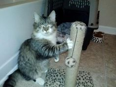Meet Jake, an adoptable Maine Coon looking for a forever home. If you're looking for a new pet to adopt or want information on how to get involved with adoptable pets, Petfinder.com is a great resource.