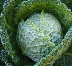 Savoy cabbage Alcosa in all its crinkled beauty! This is from the article Corrupted by Cabbage, another great fall crop and good read from growveg.com
