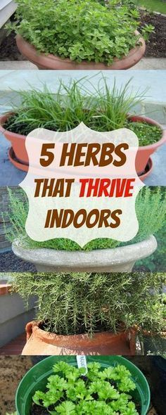 Indoor Vegetable Gardening herbs that thrive indoors - Looking to grow your herbs indoors? These are the 5 herbs that THRIVE indoors and we'll show you exactly how to plant them! Indoor Vegetable Gardening, Container Gardening, Organic Gardening, Gardening Tips, Herb Garden Indoor, Urban Gardening, Herbs Garden, Kitchen Herb Gardens, Kitchen Herbs