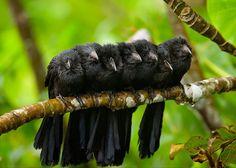 Bird huddles,Smooth Billed Anis