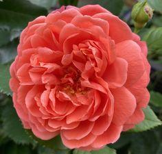"Katie on Twitter: ""Summer song #rose #garden #GardeningTwitter… """