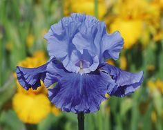 Wingman | Tall Bearded Iris Schreiner 2015; Ready for takeoff! A brisk, perfectly balanced blue-purple neglecta, with large flowers. Slightly innovative is the sharp contrast in tone, between the standards and falls. The falls' lavender border, however, mirrors the standards. It offers 7 flowers on a stem, and takes off early in the season. Fragrant. Seedling #YY30-B