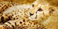 Cheetah: Height: 2 ½ -3 feet (.8-.9m) at the shoulder. Weight: 110-140 lbs (50-64kg). Top Speed: 70mph (113 km/hr). Lifespan: 10-12 years.