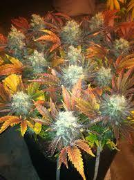 colorful cannabis strains - Google Search