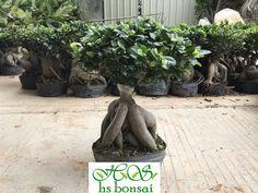ficus microcarpa -ginseng 2kgs Ficus Ginseng Bonsai, Ficus Microcarpa, Garden Sculpture, Outdoor Decor