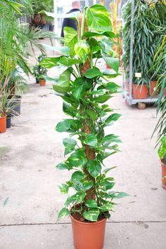 Efeutute efeututen pinterest zimmerpflanzen daumen und ko - Zimmerpflanzen dunkel ...