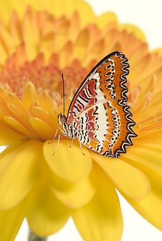 Maylasian Lacewing Butterfly