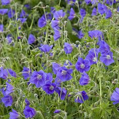 Need for the backyard! Geranium cranesbill: True geraniums—which make fluffy little mounds of foliage and small flowers in white or shades of pink or blue—thrive in the light shade of high trees.