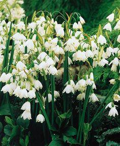 Leucojum aestivum - Leucojum aestivum - Best of the Rest - Flower Bulbs Index