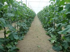 Growing cucumber is greenhouse is a fun and profitable business. Most of the people are showing interest in greenhouse production of cucumbers as they can be grown under controlled Agriculture Farming, Cucumber, Canning, Plants, Gardening, Business, People, Fun, Houses