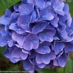 "Cityline Vienna® Hydrangea macrophylla -Bright Fuchsia - Proven Winners-4"""" Pot"