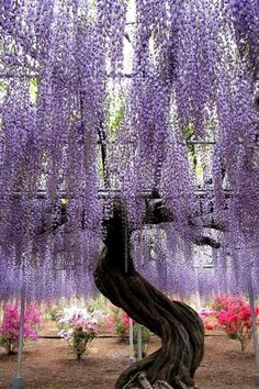 Purple willow tree