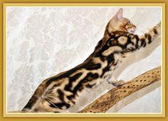 Tri Marble Bengal Cat - LOVE IT!