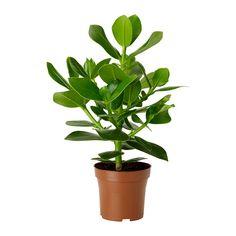 CLUSIA Plant - IKEA , 3,99euro heel gemakkelijk : Deze kamerplant kan zowel op een lichte standplaats als op een schaduwrijke standplaats geplaatst worden. Geef gemiddeld water.