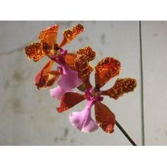 Esencia Orquídea  Color