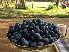 Blueberry Farm, Fruit, Blueberries, Food, Fotografia, Berry, Blueberry, Essen, Meals