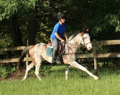 Merlin is the grandson of the famous Puchilingui. He has been started under saddle. He is on the small side - currently 15 hands, but does not move or ride like a small horse.