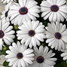 50+ African Daisy White Flower Seeds ,Under The Sun Seeds