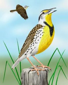 Eastern Meadowlark: Short ground-dwelling bird with buff- and black-streaked brown upperparts. Head has black-and-white striped crown, white face, black eyestripe and a pointed bill. Throat to belly is yellow, broad black V on breast. Brown tail has white edges and undertail coverts.